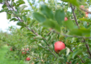 Europe recognises New Zealand expertise in apple breeding