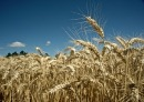 New wheat cultivars anticipated from cereal breeding partnership