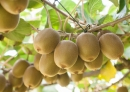 New Zealand-China collaboration in kiwifruit research