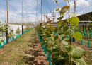 Front footing pest and disease risk in Kiwifruit