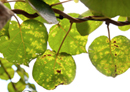 New biological control for kiwifruit disease