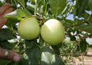 Global apple & pear breeding programme heats up