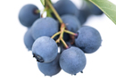 New Zealand joins blueberry genome initiative