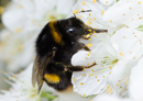 Cleverness comes at a cost: the plight of the brainy bumble bee